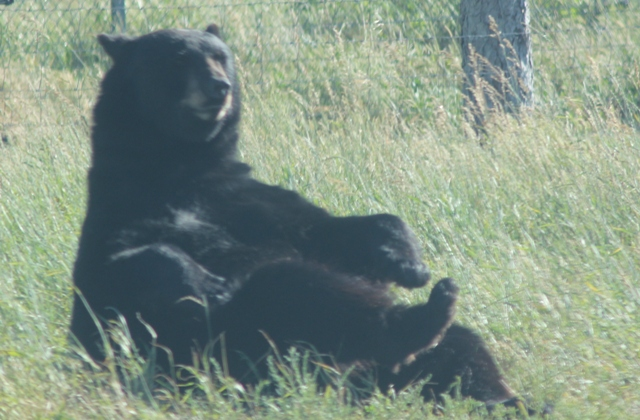 62396907 To keep healthy in the wild, bears will do countless sets of sit-ups.